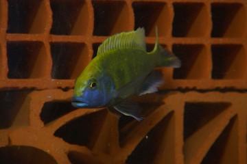 poissons du lac Malawi