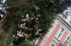 Le séquoia centenaire du chateau Utzschneider
