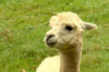 Les lamas et les alpagas se transforment en tondeuses pour assurer l'entretien des terrains