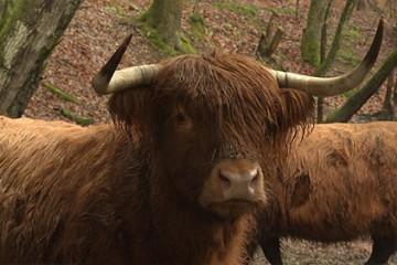 les Highland cattle s'occupent des vallées du parc naturel régional des Vosges du Nord