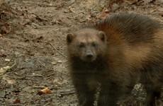 Les gloutons ont fait leur apparition au parc animalier de Sainte-Croix