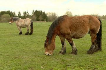 Les chevaux de trait ne comptent pas pour des prunes