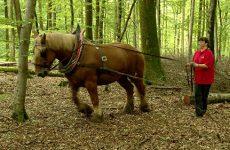 Quand les tracteurs ne peuvent plus débarder, on peut compter sur les chevaux de trait