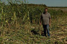 Avant d'être ramassé le maïs de Pascal Schoeser a fait la connaissance des sangliers...