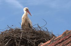 Les habitants de la ville ne restent pas indifférents à ces volatiles qui font leurs nids sur leurs toits.
