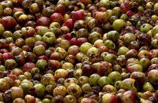 collecte_pommes
